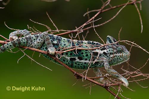 CH39-528z  Female Veiled Chameleon, Chamaeleo calyptratus