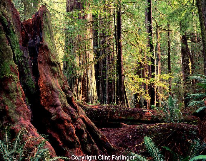 redwood stump, Prairie Creek Redwoods State Park, California