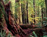 redwood stump, Prairie Creek Redwoods State Park, California