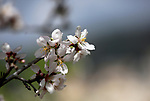 Almond flowers are seen bloom in the West Bank city of Nablus, on February 14, 2018. Photo by Shadi Jarar'ah