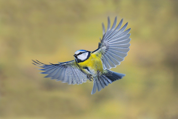 Blue Tit (Parus caeruleus), adult in flight, Zug, Switzerland, Europe