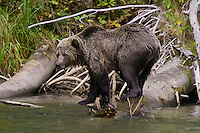 Grizzly Bear walking along a log on the Mitchell River