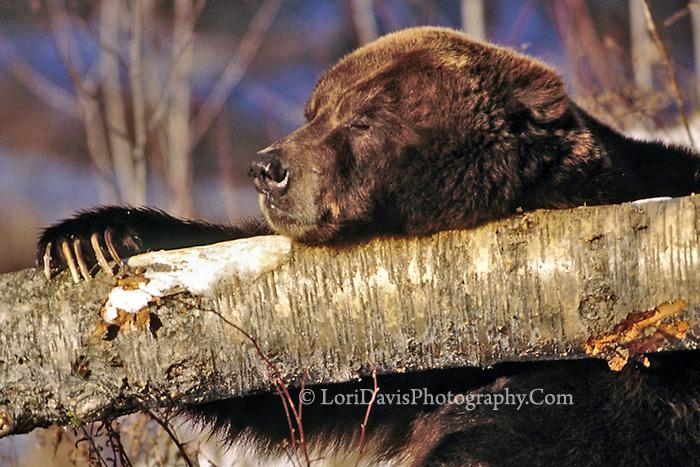Grizzly Bear Asleep on Log  #W6