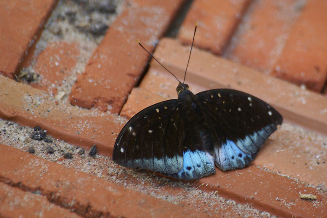This Archduke was sitting on a brick path in a reserve in Thailand.