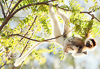 Verreauxs 'Dancing' Sifaka with baby, Berenty Reserve, Madagascar