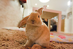 February 26, 2012, Tokyo, Japan - A rabbit looks at the camera at a rabbit cafe where customers can come in to have a drink and play with rabbits. (Photo by Christopher Jue/AFLO)