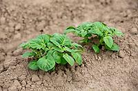 Potato plants - Lincolnshire, May