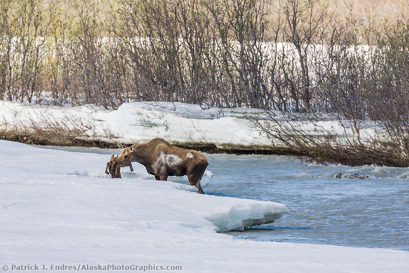 Cow moose nudges spring calf onto auf ice in the Phelan creek drainage, Interior, Alaska.
