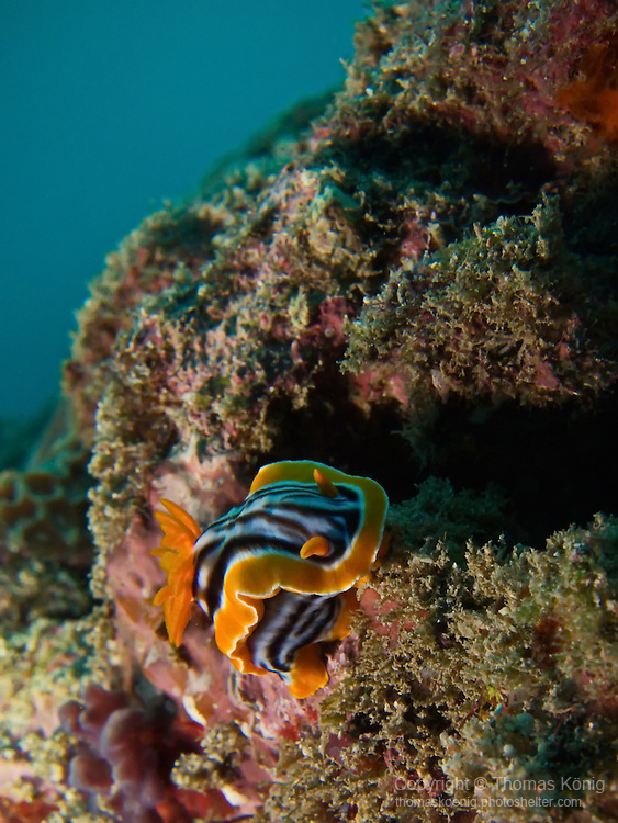 Kenting, Taiwan -- The nudibranch Chromodoris magnifica crawling along.