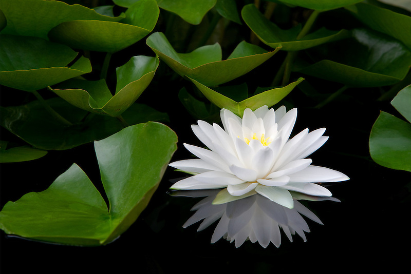 White water lily and reflection. Hughes Water Gardens. Oregon