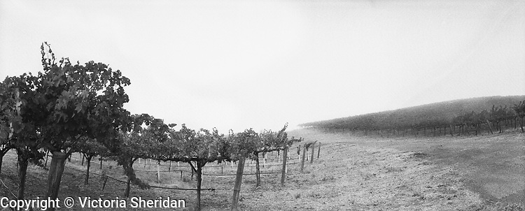 Livermore vineyard in fog. Part of the Face of Labor portrait series. 1999 (Photo/Victoria Sheridan)