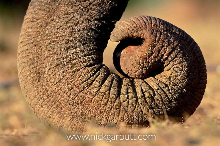 Close up of curled tip of trunk of Indian Elephant (Elephas maximus)(domestic). Bandhavgarh National Park, India.