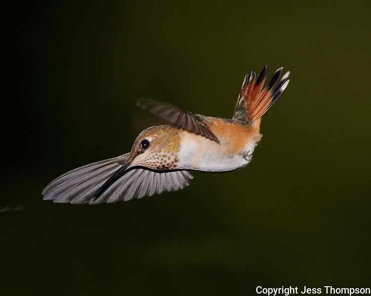 Rufous Hummingbird from Southeaster Arizona