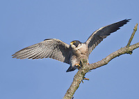 Adult peregrine falcon with wings outstretched about to take flight from its favorite perch.