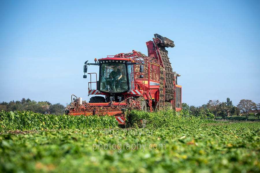 Harvesting sugar beet - Lincolnshire, September