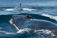 Fin whale (balaenoptera physalus) Gulf of California. A pair of fin whales., Baja California, Mexico, Pacific Ocean