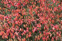 Wilde kardinaalsmuts (Euonymus europaeus) in herfsttooi