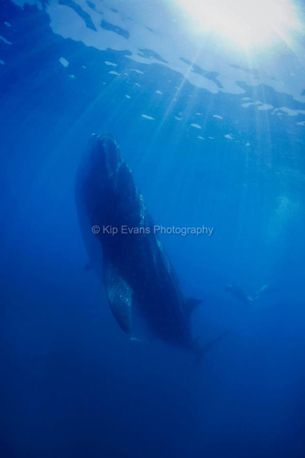 A whale shark feeds on plankton 35 miles off the coast of Holbox Mexico.