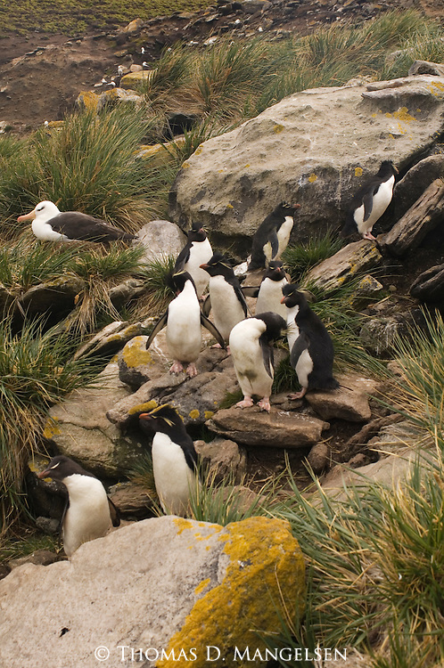 Rockhopper penguins and a black-browed albatross on West Point Island in the Falkland Islands.