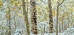 Aspen forest, Colorado