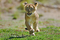 African Lion cub (Panthera leo) running.