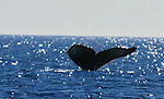 WHALES; humpback whales