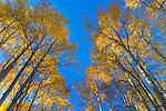 Gunnison National Forest, Colorado:  Morning sun illuminating autumn colored aspen (Populus tremuloides) canopy with blue sky