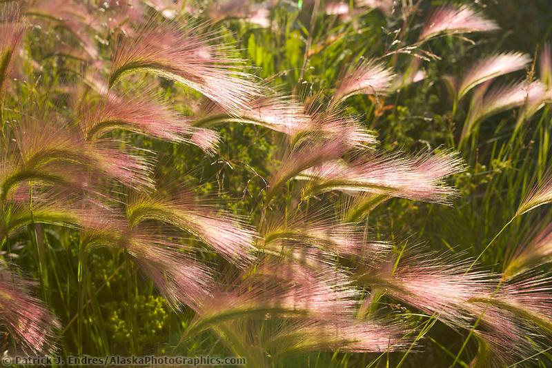 Foxtail in summer, Yukon Territory, Canada