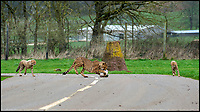 BNPS.co.uk (01202 558833)<br /> Pic: IanTurner/BNPS<br /> <br /> Watch with mother...Longleat's Cheetah cubs get a lesson in hunting from mum Wilma.<br /> <br /> Two cheeky cheetah cubs have proven they were born to run - showing off their impressive speed for the first time.<br /> <br /> The six-month-old rare twins Poppy and Winston, the first cheetahs ever to be born at Longleat Safari Park in Wiltshire, have started developing the hunting skills they would need in the wild.<br /> <br /> Keepers at the wildlife park set up a speeding lure, similar to those used at greyhound races, to put the youngsters through their paces.