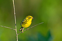 592260007 a wild male prairie warbler setophaga discolor - was dendroica discolor - perches on a dead stick in the angelina national forest jasper county texas