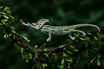 SEQUENCE 4 OF 9:  A chameleon balances on a thin branch as it catches a dragonfly with its long and sticky tongue.  The brightly patterned reptile leans forward to strike at the small orange insect.<br /> <br /> The images were captured by professional photographer Tanto Yensen, in Jakarta, Indonesia.   SEE OUR COPY FOR DETAILS<br /> <br /> Please byline: Tanto Yensen/Solent News<br /> <br /> © Tanto Yensen/Solent News & Photo Agency<br /> UK +44 (0) 2380 458800