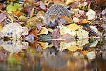 European hedgehog (Erinaceus europaeus) by the edge of a pool surrounded by autumn leaves. His reflection is visible in the pool. Taken in Wales UK under controlled conditions