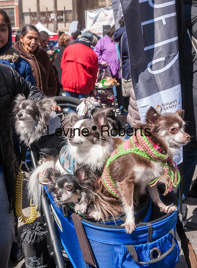 A carriage-full of chihuahuas in Union Square in New York at Adoptapalooza on Sunday, April 10, 2016. Hosted by the Alliance for NYCs Animals the event featured hundreds of homeless animals just waiting to be adopted by loving families. The event celebrated the 150th anniversary of the ASPCA.  (© Richard B. Levine)