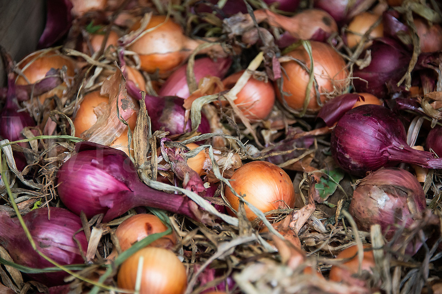 Freshly harvested onions, Allium cepa