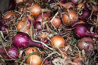 Freshly harvested onions, Allium cepa