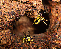 Common Yellowjacket nest; Vespula alascensis; in rotten log; PA, Philadelphia, Wissahickon Valley Park
