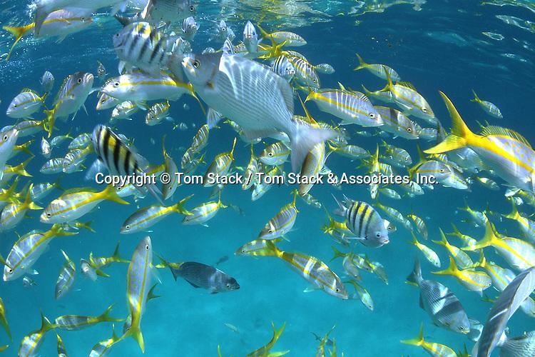 mixed school of..Bermuda Chubs, Yellowtail Snapper, & Sergeant Major Damselfish..Florida Keys, inshore coral reef