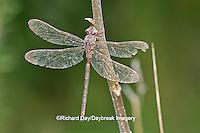 06366-00105 Fawn Darner (Boyeria vinosa) dragonfly male, Marion Co. IL