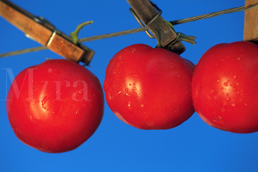 Abstract graphic of three tomatoes hanging by wooden clothespins on a clothesline.