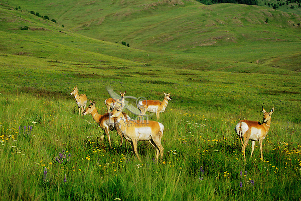 Pronghorn antelope, National Bison Range, Montana. June.