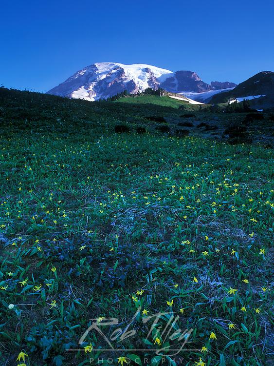 USA, WA, Mt. Rainier NP, Glacier Lily (Erythronium grandiflorum)