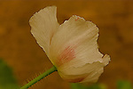 A close-up of a beige colored Poppy (Papaver orientale) flower with brown color background,
