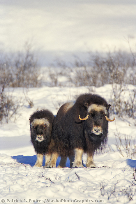 Cow and calf Musk Ox on Alaska's snowy Arctic Coastal Plain, Arctic National Wildlife Refuge.