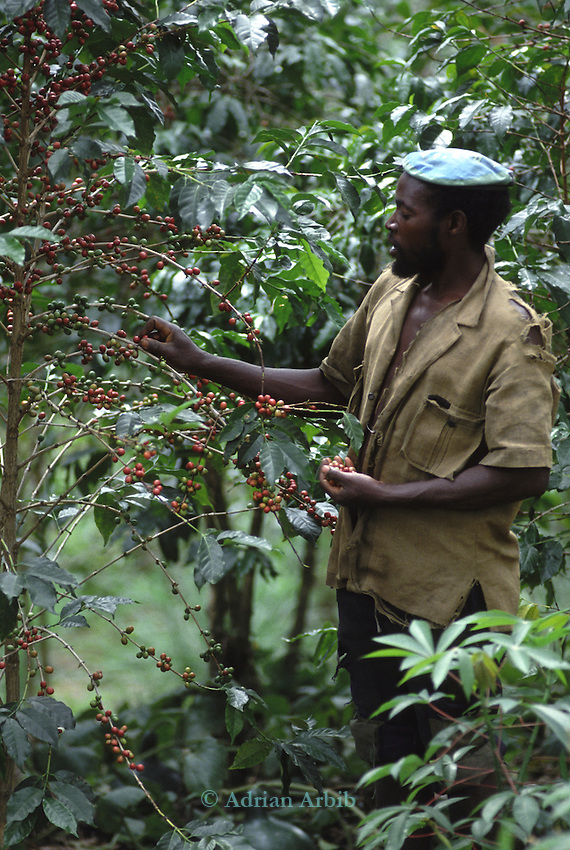 A farmer picking coffee beans, Rwanda.
