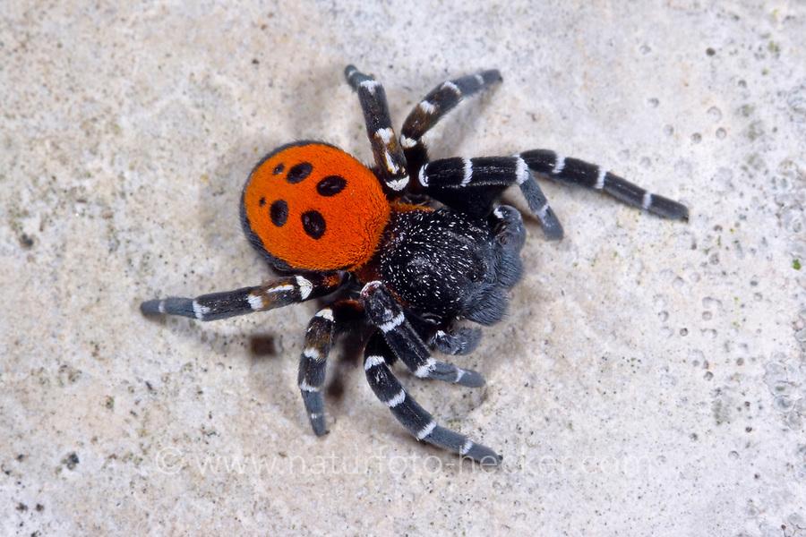 Röhrenspinne, Männchen, Eresus sandaliatus, Eresus annulatus, ladybird spider, male, Röhrenspinnen, Eresidae, ladybird spiders