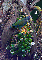 White-crowned parrot eating palm nuts
