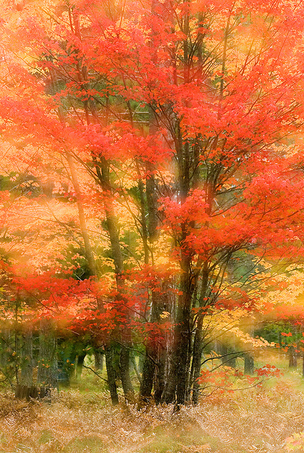 """Two exposures, one sharp and one soft combined in camera create this ,ystical """"glowing"""" view of the autumn forest, Hiawatha National Forest, Alger County, Michigan"""