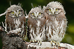 Ferruginous pygmy owlets perched on a tree branch, Patagonia, Argentina