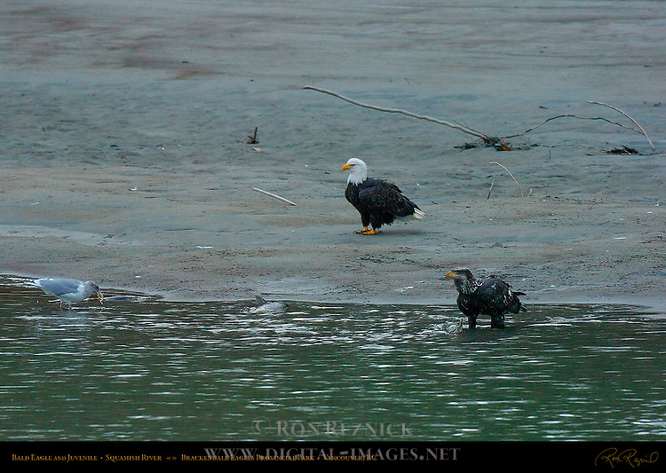 Bald Eagle and Juvenile, Squamish River, Brackendale Eagles Provincial Park, Vancouver, British Columbia