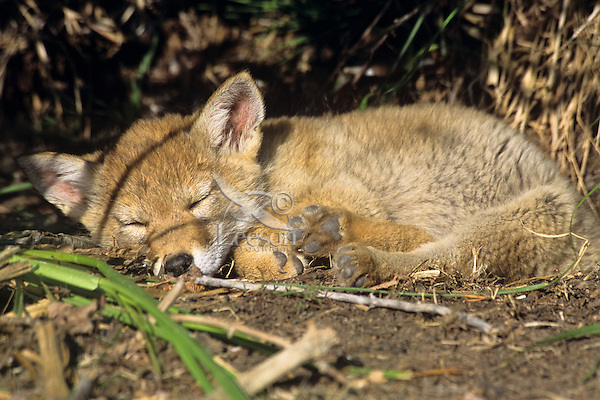 Wild Coyote (Canis latrans) pup sleeping near densite.   Western U.S., June.